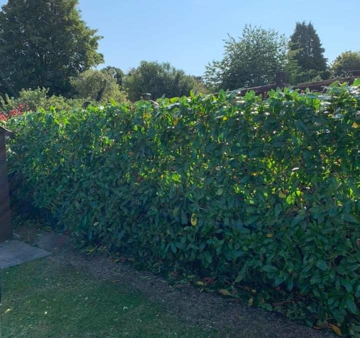 Hedge Reduction in Maidstone