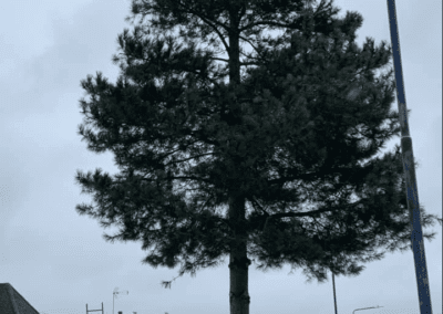 40ft Pine Tree Surgery