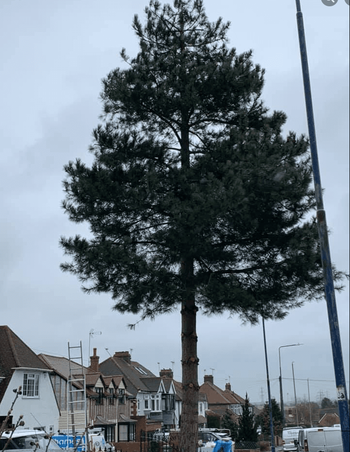 40ft tree, tree surgery undertaken to reduce height and crown reduction.